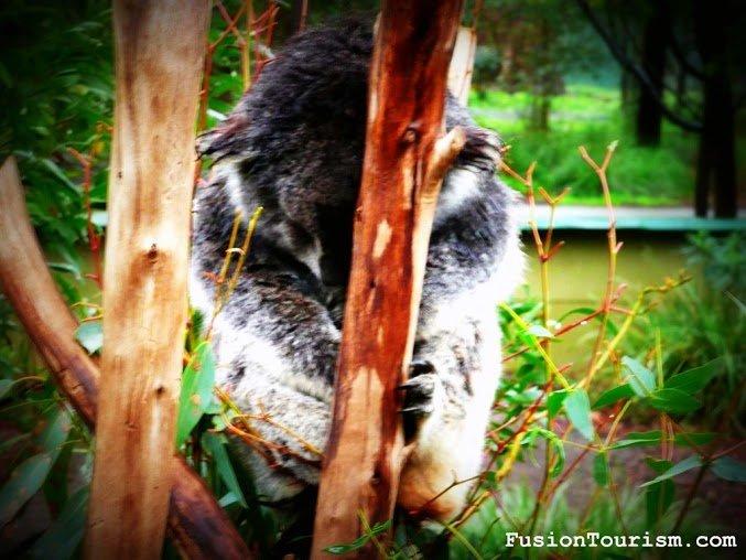 sleeping koala australia